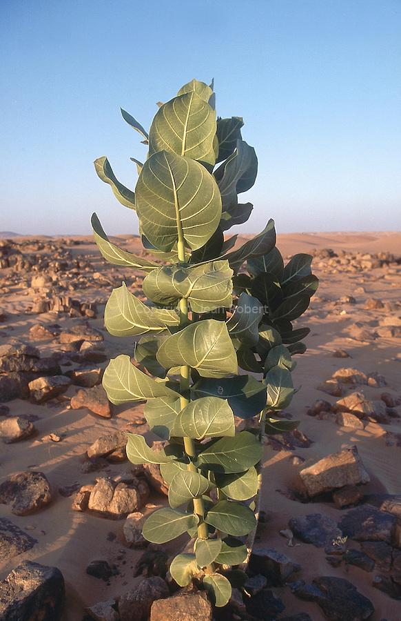 Euphorbe dans les dunes de l'Amatlich. Les nomades connaissent bien sa toxixité et veillent à ce que les chameaux ne la broutent pas. Mauritanie. Afrique. Euphorbia in the dunes of the Amatlich. This plant is toxic: nomads have to prevent camels from eating it. Mauritania. Africa.