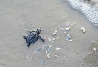 Kemp's ridley sea turtle (Lepidochelys kempii), hatchling walking to surf, Padre Island National Seashore, North Padre Island, Texas, USA