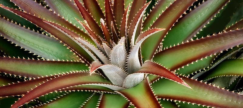 Closeup of Sawtooth Cactus. Ali'i Kula Lavender Farm. Maui, Hawaii