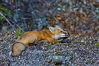 Red Fox (Vulpes vulpes) licking paw.  Yukon/British Columbia border.  Sept.