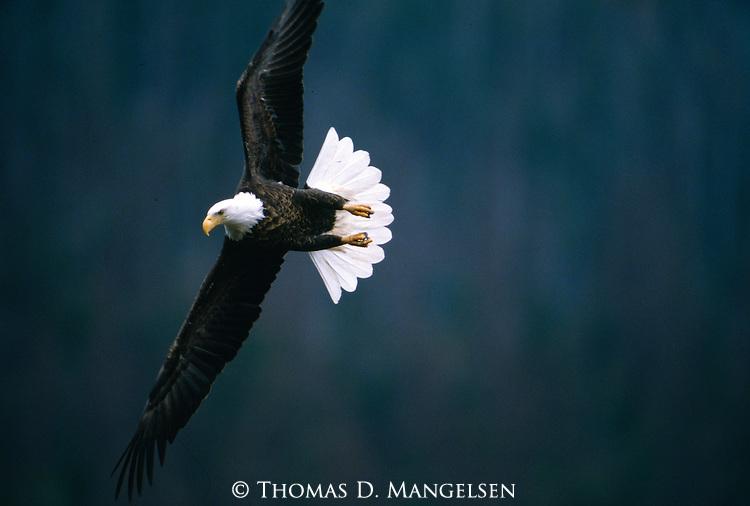 Portrait of bald eagle in flight in Montana.