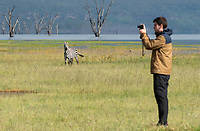 A Grant's Zebra, Equus quagga boehmi, watches as a tourist takes a photo on the shore of Lake Nakuru in Lake Nakuru National Park, Kenya