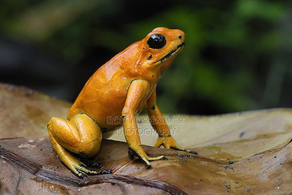 Golden Poison Dart Frog..(Phyllobates terribilis)..Cauca, Colombia