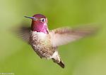 Hummingbirds, Nighthawks and Swifts