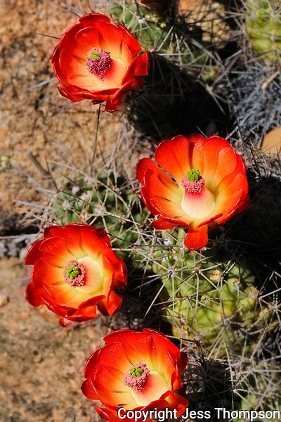 Claret Cup Cactus, Llano, Texas