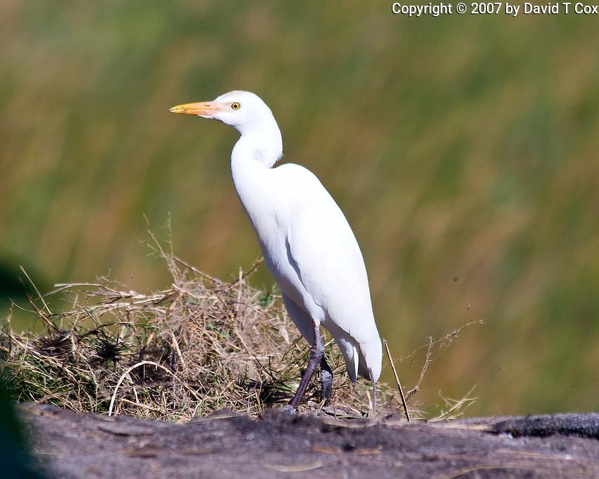 Cattle Egret, Tofu Beach, Mozambique