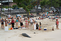marine mammal response network volunteer Paulette Wright Smith (in black shirt at right) talks to children about Hawaiian monk seal, Neomonachus schauinslandi; 7 year old male seal, recently molted, rests on beach inside SPZ ( seal protection zone ), La'aloa or Magic Sands Beach Park, Kailua Kona, Big Island, Hawaii, USA, Pacific Ocean