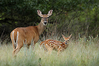 Baby whitetail fawn and mom mid-Summer, Central Texas.