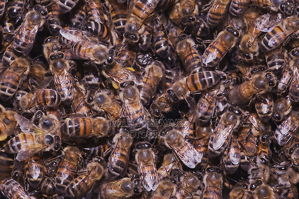 Honey Bee (Apis mellifera), hive, Sinton, Corpus Christi, Coastal Bend, Texas, USA