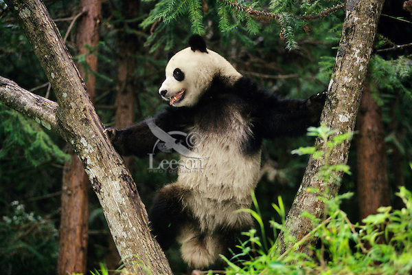 Giant Panda in Qionglia Mountains of Central China.
