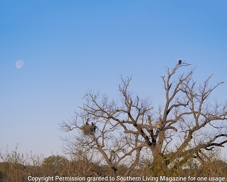 Llano Bald Eagle nest with two eaglets on the nest with the early morning moon in the background.  March 28, 2005.