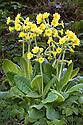 False oxlip {Primula vulgaris x veris}, Peak District National Park, Derbyshire. April.