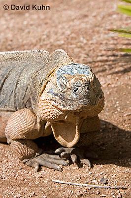 0629-1110  Exuma Island Iguana (Northern Bahamian Rock Iguana), Bahamas, Cyclura cychlura figginsi  © David Kuhn/Dwight Kuhn Photography