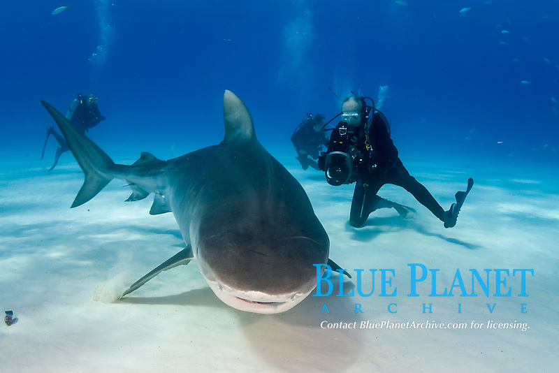 A Tiger shark (Galeocerdo cuvier) and scuba diver in the Bahamas, Caribbean, Atlantic
