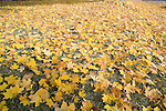 Ground covered with yellow maple leaves in autumn