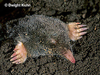 MB25-014z   Hairy-tailed Mole - digging - Parascalops breweri