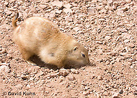 0721-1116  Black-tailed Prairie Dog Foraging for Food (seed or roots) by Smelling, Cynomys ludovicianus  © David Kuhn/Dwight Kuhn Photography