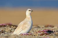 "Adult male Rock Ptarmigan (Lagopus muta) of the subspecies L. m. rupestris in courtship or ""supplemental"" plumage."