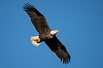 Brazoria County, Damon, Texas; an adult bald eagle flying overhead in early morning sunlight against a clear blue sky