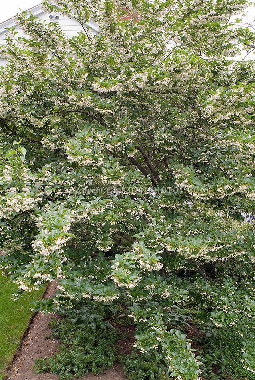 Halesia carolina in bloom, underplanted with Pulmonaria, near house and lawn with straight edge for mowing