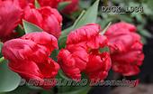 Gisela, FLOWERS, BLUMEN, FLORES, photos+++++,DTGK1934,#f#