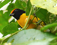 Tawny-capped euphonia male