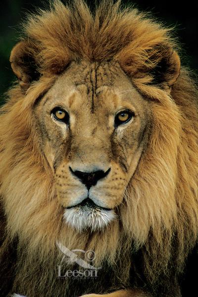 African lion (Panthera leo) male, Matusadona National Park, Zimbabwe.