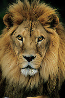 African lion (Panthera leo) male, Matusadona National Park, Zimbabwe.