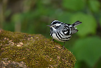 Black-and-White Warbler (Mniotilta varia), male, South Padre Island, Texas, USA