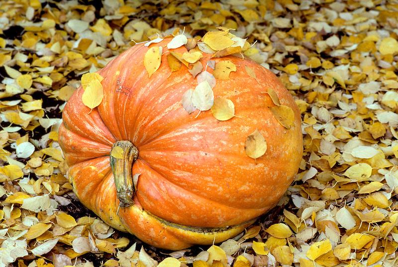 V00108.tif   Fall pumpkin. Monroe, Oregon