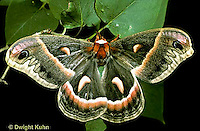 LE01-003x  Cecropia Moth - adult female - Hyalophora cecropia