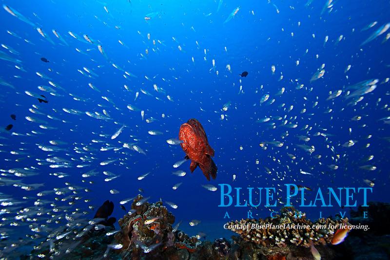 tomato grouper, Cephalopholis sonnerati , schooling cardinalfish, Rhabdamia gracilis, Chichi-jima, Bonin Islands, Ogasawara, Tokyo, Japan, Pacific Ocean
