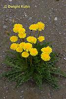 DN01-500z  Dandelion, Taraxacum officinale