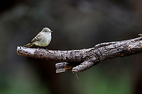 Gray Flycatcher (Empidonax wrightii) foraging in Patagonia Lake State Park, Nogales, Arizona.