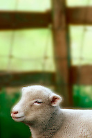 Lamb Resting by a Fence