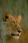 Portrait of a lioness.