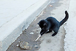 Domestic Cat (Felis catus) kitten playing with plastic spoon, Abra Pampa, Andes, northwestern Argentina