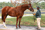 17  November  2009 Kentucky Stallions.  Curlin is shown to a group of potential breeders on a beautiful morning at Lane's End farm.  Curlin, two time horse of the year, and champion 3 year old will stand his second season at Lanes End in 2010.