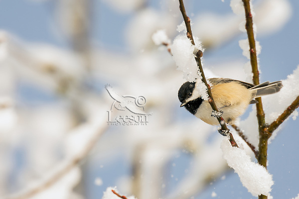 Black-capped Chickadee (Poecile atricapillus) looking for food on snow covered pussy willow branch.  Pacific Northwest.  February.