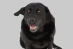Black Labrador retriever (AKC) in the winter.  His ear is blowing in wind.  Winter, WI.