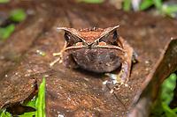 Long-nosed horned frog (Megophrys nasuta), family of Asian toad frogs (Megophryidae), Kubah National Park, Kuching, Sarawak, Borneo, Malaysia, Asia