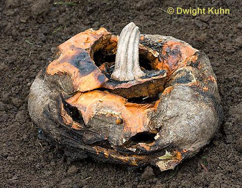 DC10-516z  Jack-o-Lantern decomposing in garden, Fungus growth on fruit.