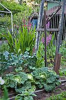 Small backyard raised bed organic vegetable garden with savoy cabbage, broccoli, and bean trellis; MUST CREDIT: Elvin Bishop Garden