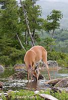 0623-1023  Northern (Woodland) White-tailed Deer Drinking Water, Odocoileus virginianus borealis  © David Kuhn/Dwight Kuhn Photography