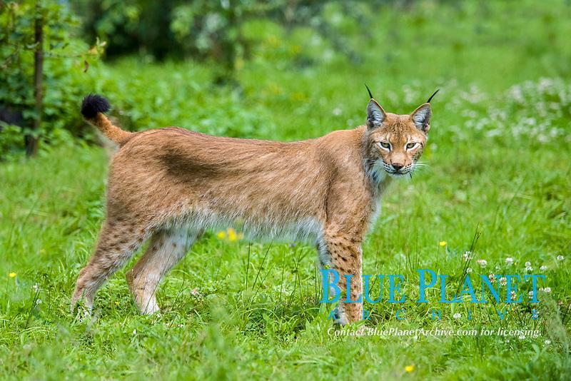 Siberian lynx, or East Siberian lynx, Lynx lynx wrangeli