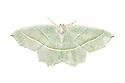 Light Emerald Moth {Campaea margaritata} photographed on a white background. Derbyshire, UK. July.