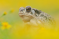 Texas Toad (Bufo speciosus), adult in wildflower field, Laredo, Webb County, South Texas, USA