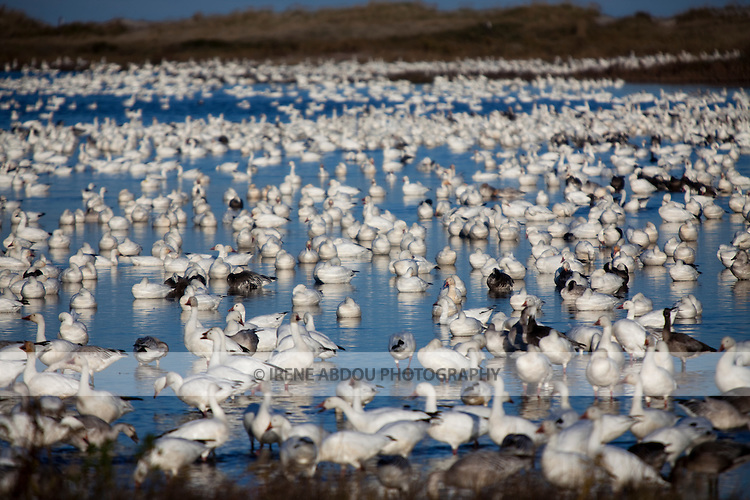Thousands of snow geese enjoy the afternoon waters at Chincoteague National Wildlife Refuge on Assateague Island, Virginia.