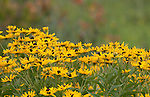 early sunflower Heliopsis helianthoides