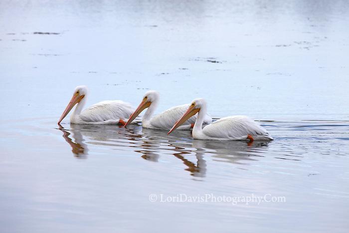3 White Pelicans #J17